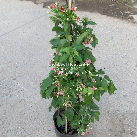 [Cây Hoa Leo Giàn] Cây hoa giun - hoa sử quân tử cao 1m xum xuê cực sai hoa và nở quanh năm, trồng trang trí leo giàn